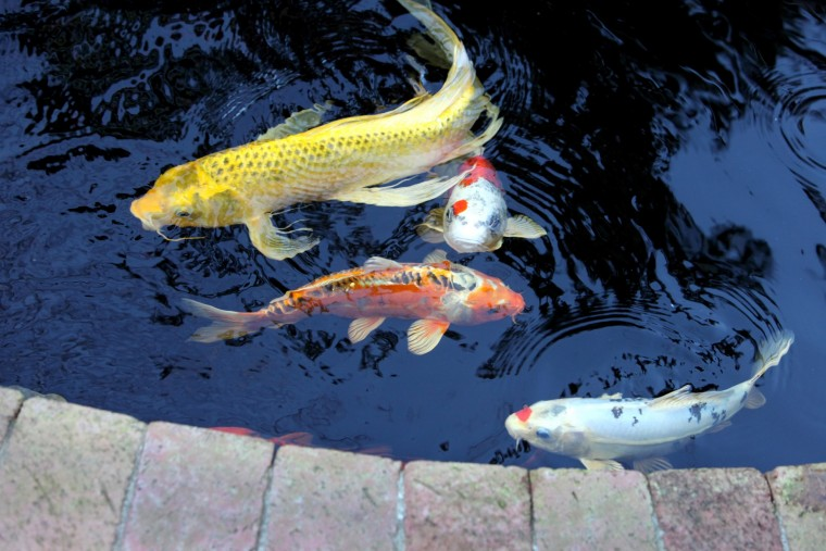 Diy contest winner has a koi love for Do it yourself koi pond