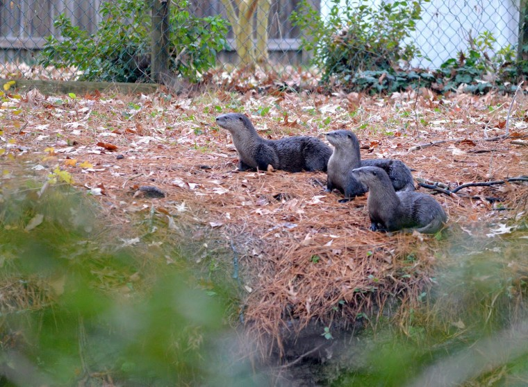 Otters In Virginia Beach