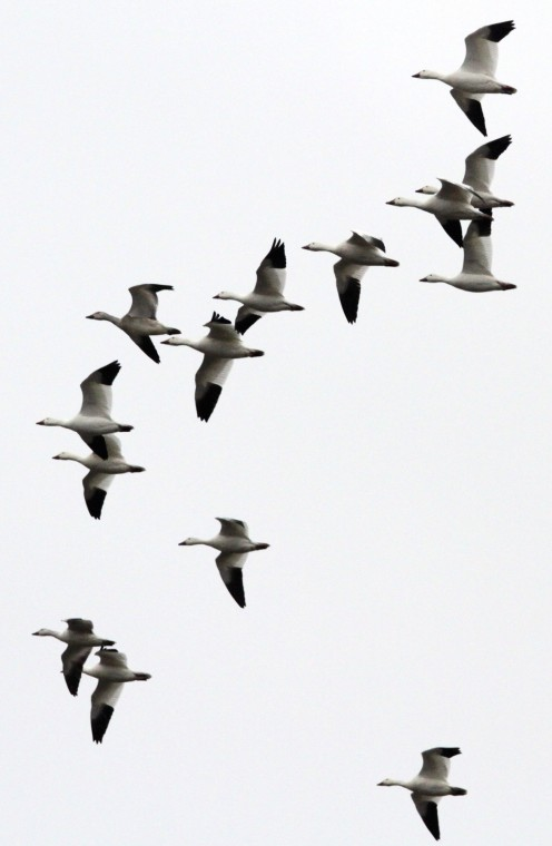 Geese Flying Drawing a Flock of Snow Geese Fly