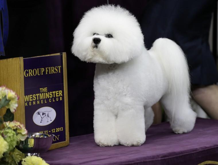National Dog Show Bichon