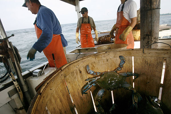 Freshly caught maryland blue crab scuttles inside a bushel after a