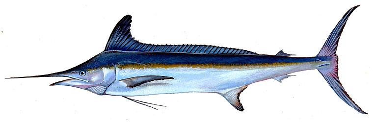 Fishing Forecast White Marlin