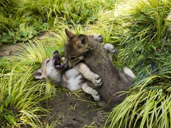 Gray wolf pups make first appearance at Busch Gardens ...