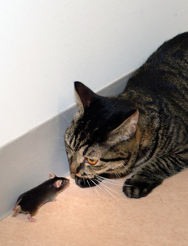 A genetically modified mouse stays near a cat at Tokyo University's