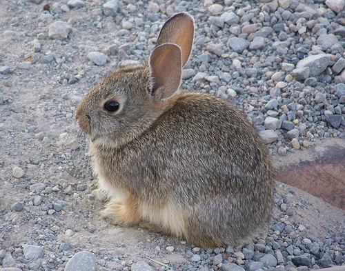 how to tell age of wild rabbit