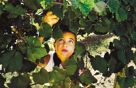 Muscadine Grapes Virginia Beach