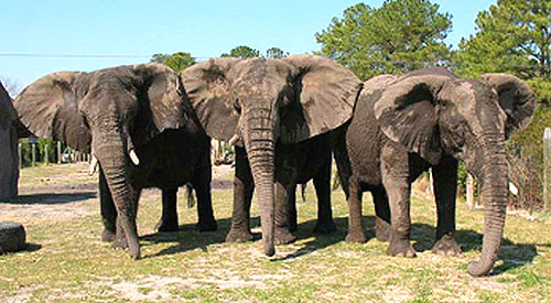 "The image ""http://media.hamptonroads.com/media/content/pilotonline/2007/05/0516elephants500x275.jpg"" cannot be displayed, because it contains errors."